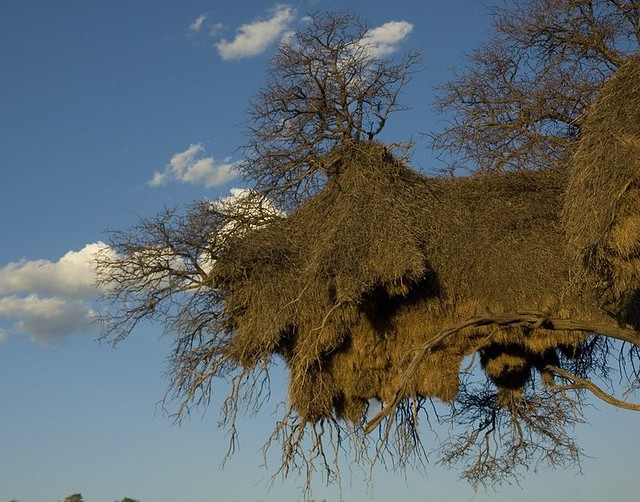 Social Weaver Birds' Nest