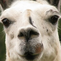 alpaca(0.0), mane(0.0), arabian camel(0.0), nose(1.0), animal(1.0), snout(1.0), mammal(1.0), llama(1.0), head(1.0), fauna(1.0), close-up(1.0), camel(1.0),