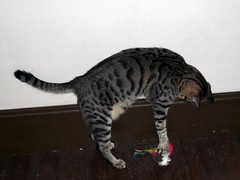savannah(0.0), animal(1.0), bengal(1.0), toyger(1.0), small to medium-sized cats(1.0), pet(1.0), mammal(1.0), fauna(1.0), egyptian mau(1.0), cat(1.0), whiskers(1.0), domestic short-haired cat(1.0),