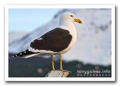 Gaviota cocinera / kelp gull