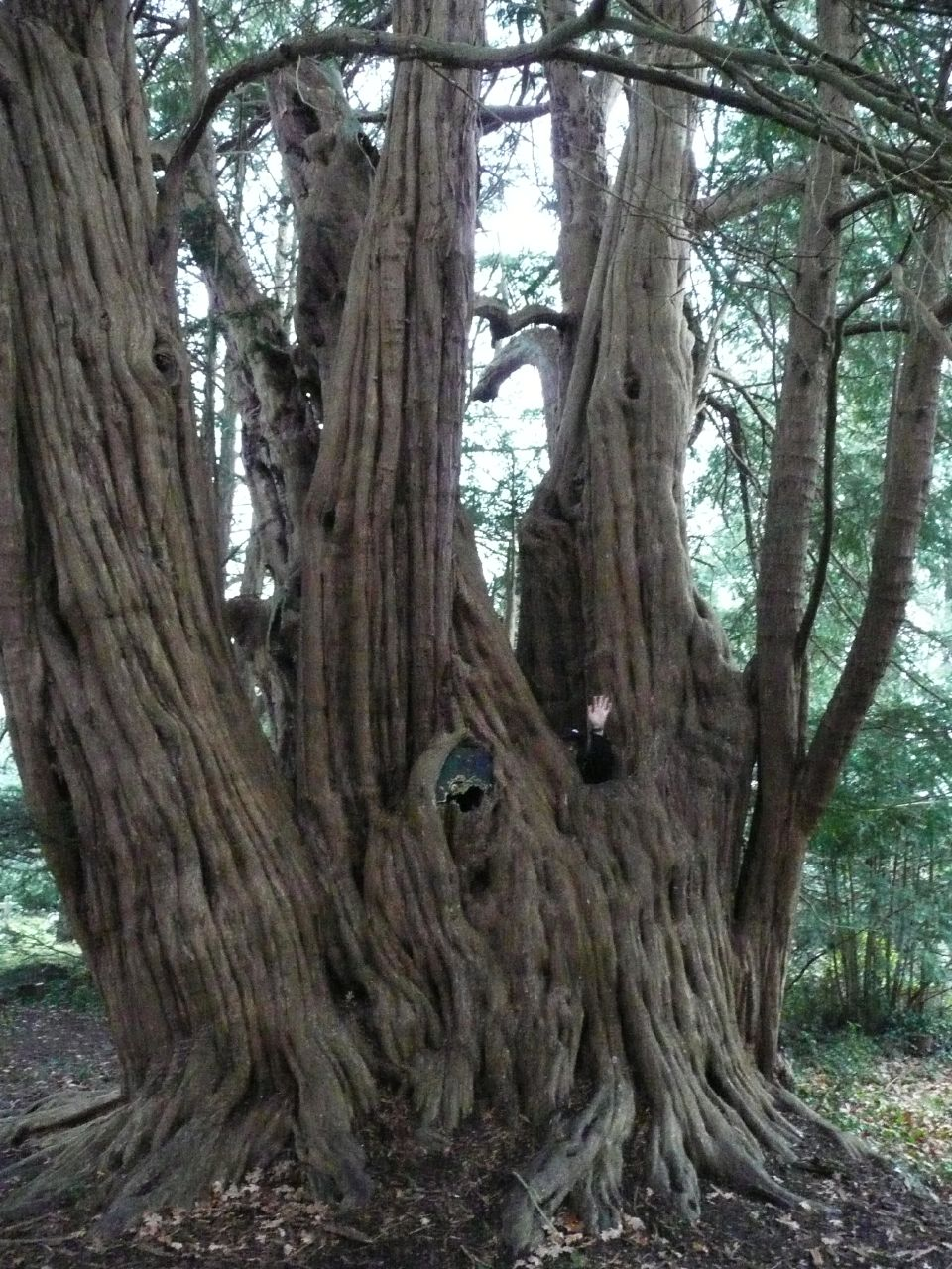 Book 3, Walk 2c, Woldingham to Oxted One of east Surrey's voracious Yew trees, here seen consuming a hapless walker whole, 1 Jan 2008.
