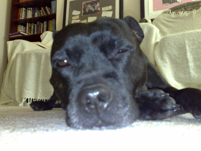Matilda the Staffie   Mat the Staffie trying to sleep   By