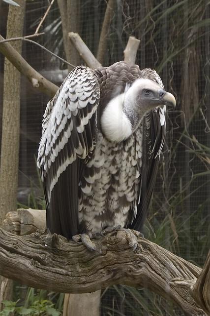Vulture , London Zoo