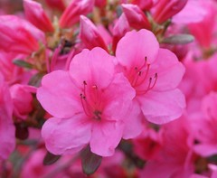 annual plant, blossom, shrub, flower, plant, pink, petal, azalea,