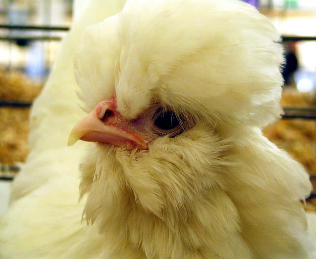 Proud Poultry