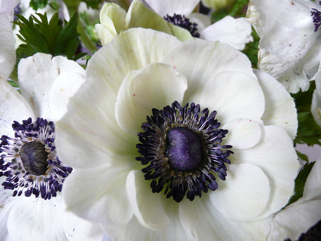 41 meaning of white anemone flower anemone white flower meaning of white anemone flower meaning of white anemone a on flickr gallery flower mightylinksfo