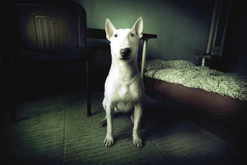 My Little Big English Bull Terrier Called Riga