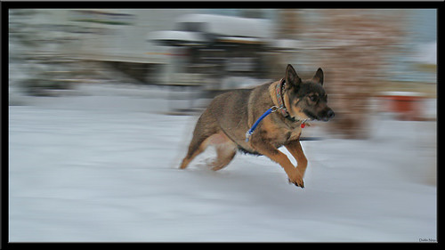 winter dog snow motion blur cold photoshop newjersey mutt play widescreen nj fast run ps february sprint 2008 169 middlesex haleigh spotswood shx golddragon abigfave theunforgettablepictures elements6 dublinninja shawnhikichi