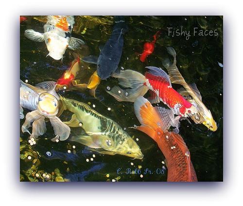 nature water koi fishes picnik comets fishfood backyardpond outstandingshot amazingshots citrit envyofflickr flickrelitegroup extraordinarycompositions betterthangood everydayissunday photosgonewild