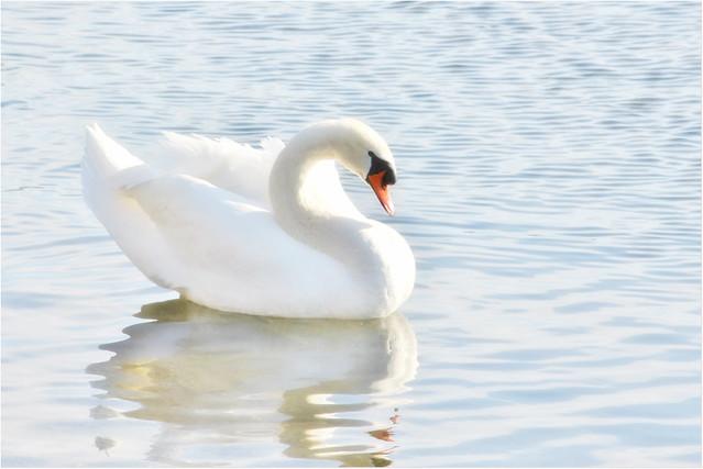 Elegant swan - explore (2017/02/16)