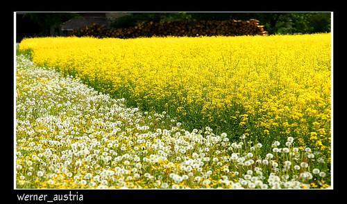 field spring colours raps styria löwenzahn sailsevenseas mygearandme