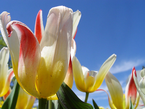 tulips colored sky background