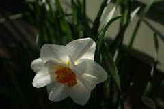 galanthus(0.0), flower(1.0), plant(1.0), petal(1.0), narcissus(1.0),
