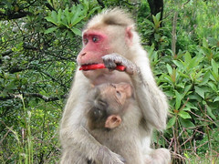 baboon(0.0), animal(1.0), monkey(1.0), mammal(1.0), fauna(1.0), japanese macaque(1.0), old world monkey(1.0), wildlife(1.0),