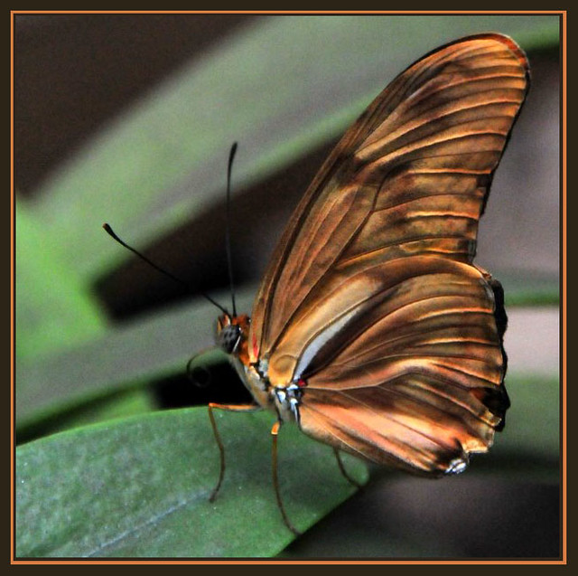 Light Brown Butterfly
