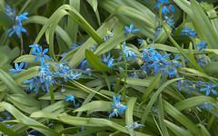 hyacinth(0.0), flower(1.0), plant(1.0), flora(1.0), scilla(1.0),