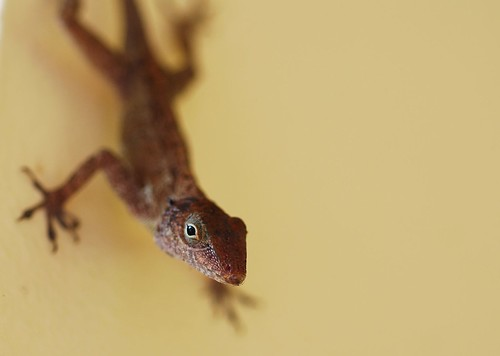 wild nikon dof puertorico reptile lizard nikkor dinosaurio 60mmf28dmicro lagartijo d80
