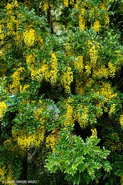 Cassia sp.'Paluma Range'- Golden Shower