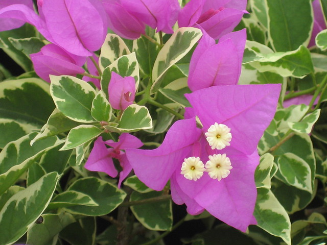 Bougainvillea Blueberry Ice Flickr Photo Sharing