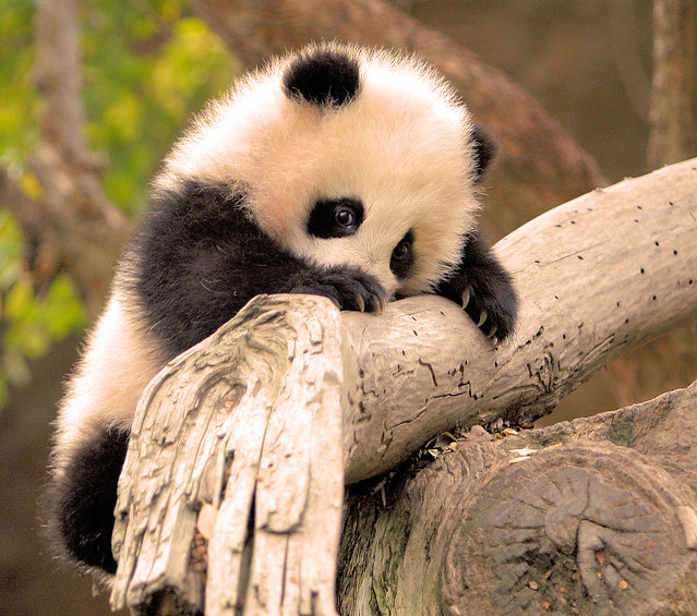 Little Zhen Zhen is a very determined little panda climber!