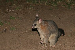 animal, possum, mammal, fauna, macropodidae, wildlife,