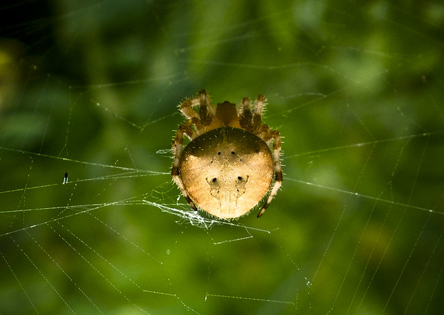 Pictures of Cat Face Spiders http://www.flickr.com/photos/jpsnuffy/2341807500/