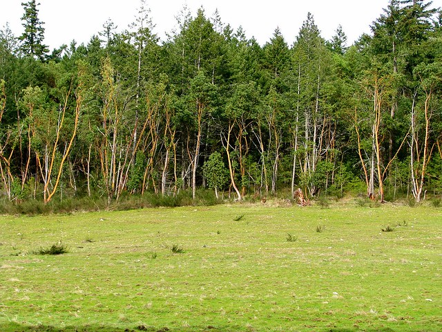 Groves of Arbutus trees
