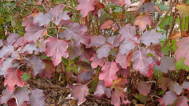 Recent Photos The Commons Getty Collection Galleries World Map App    Oakleaf Hydrangea Fall Color