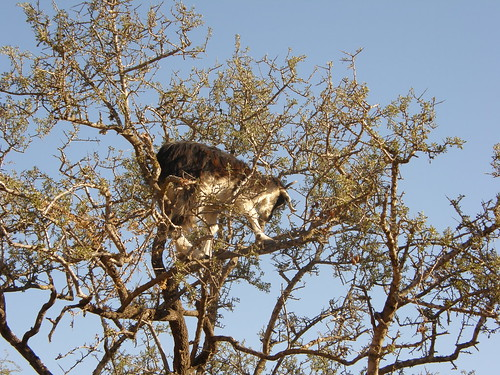 Tree-Climbing Goats of Morocco