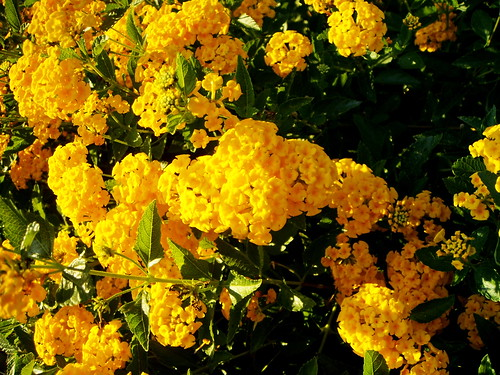 Yellow Lantana - 2 of 2
