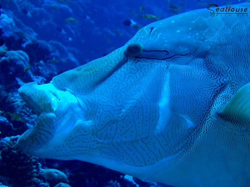Napoleon Wrasse Extended Mouth (Cheilinus undulatus). Photo from Flickr © all rights reserved damps