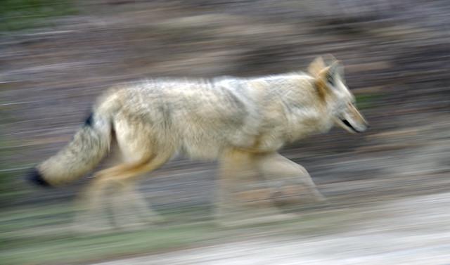Coyote Running | Flickr - Photo Sharing!  Coyote Running ...