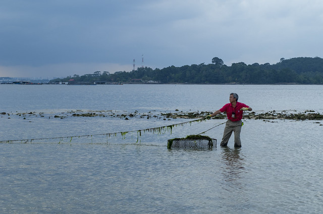 Removing fish traps from Pulau Sekudu