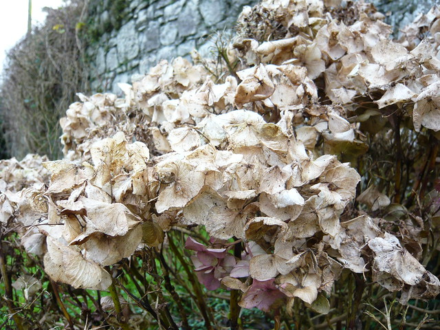 Hydrangea In Winter Pictures to Pin on Pinterest - PinsDaddy