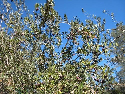 napa, olives, calistoga ranch IMG_1355