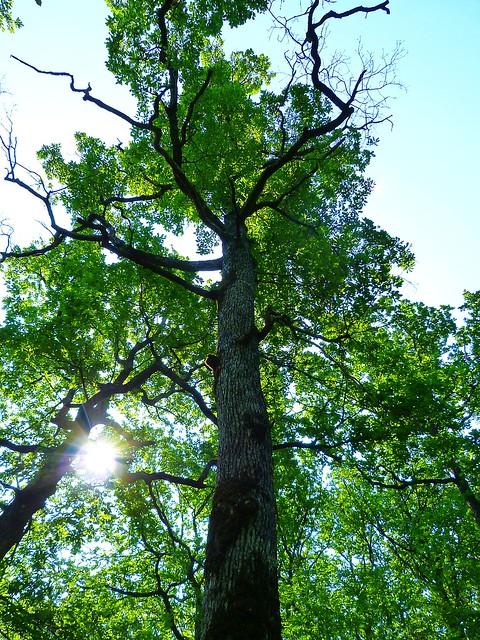 MMM2: Quercus petraea