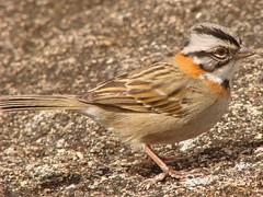 animal, sparrow, perching bird, fauna, finch, close-up, old world flycatcher, emberizidae, beak, bird, lark, wildlife,