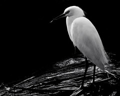 black & white egret