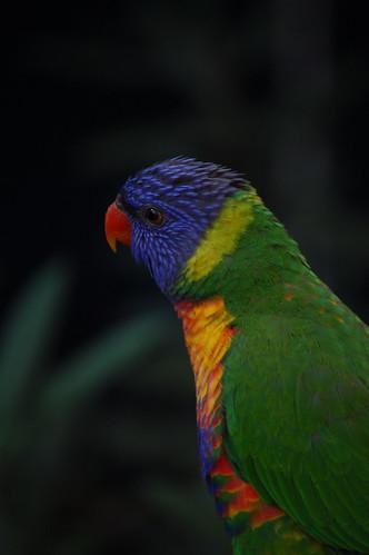 rainbow lorekeet