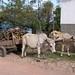 Carreta y hueyes con leña - Ox cart and oxen with firewood; San Luis, Comayagua, Honduras