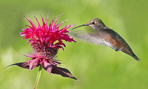 Rufous Hummingbird and Bee Balm