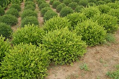Winter Gem Boxwood (Buxus microphylla ´Winter Gem´)