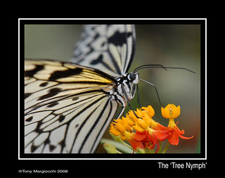 'Tree Nymph' from the Philippines.jpg