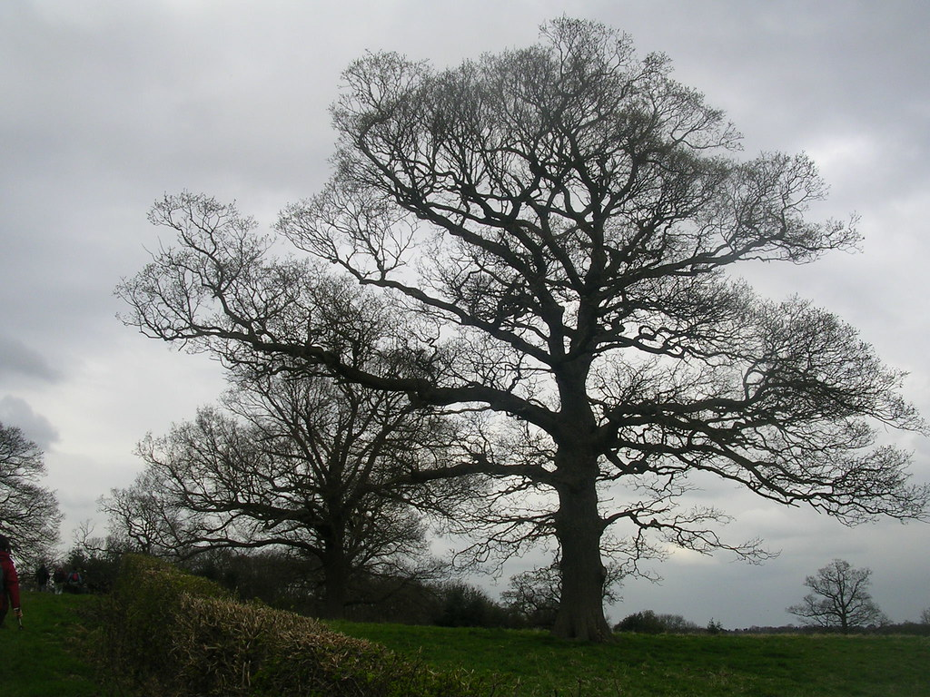 big tree Upper Warlingham to Hayes