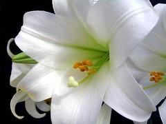amaryllis belladonna, lily, flower, plant, flora, petal,