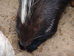 animal, porcupine, rodent, fauna, whiskers,