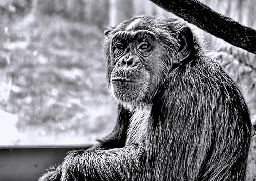 Portrait of a Chimp