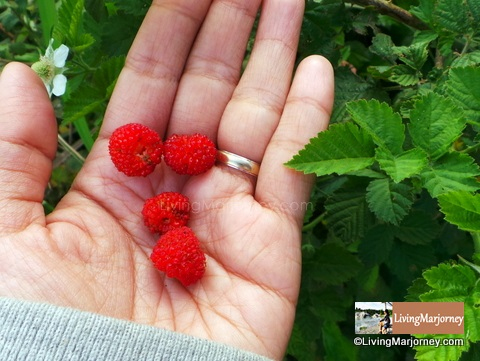 Raspberry Picking at Bangkong Kahoy Valley