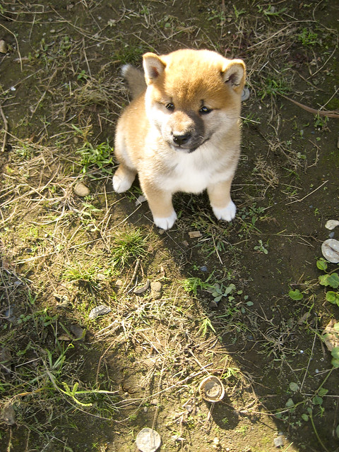 Baby Shiba Inu 柴犬 Flickr Photo Sharing