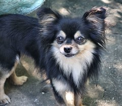 dog breed, chihuahua, animal, dog, tibetan spaniel, phalã¨ne, carnivoran,
